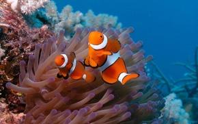 морское дно, рыбы, клоуны