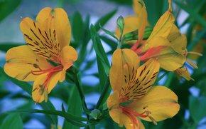 Gigli, Fiori, flora