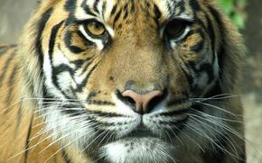 cat, tiger, muzzle