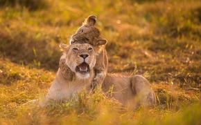 gioco, leonessa, lionet