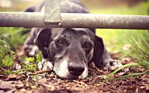 грусть, морда, пёс