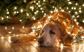 фон, праздник, собака