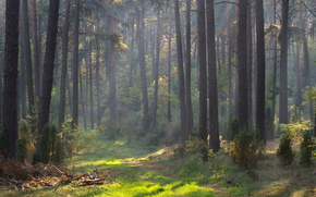 foresta, alberi, nebbia, mattinata, natura
