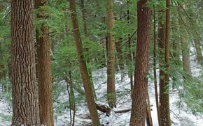 foresta, alberi, inverno, natura