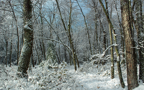 forest, trees, winter, nature