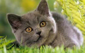 кошка, серая, трава