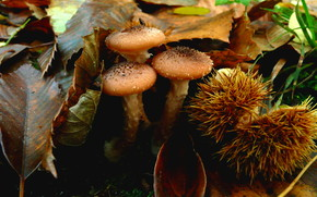 листья, грибы, опята, каштан, макро