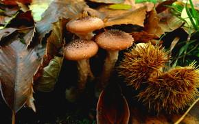 fogliame, funghi, опята, ippocastano, Macro