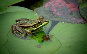 pond, дягушка, Macro