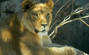 leonessa, predatore, animale
