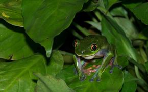 叶子, 青蛙, 宏