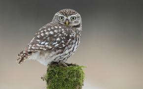 owl, moss, bird, STUMP, оперение, owlet