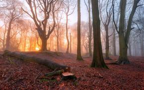 mattinata, nebbia, foresta, alberi