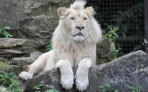 камень, белый лев, кошка