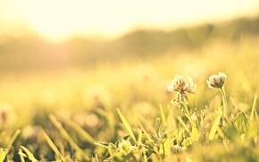 розовый, цветочек, цветок, макро, трава, солнце, полноэкранные, луг, лепестки, широкоэкранные, цветы, фон, обои, зелень, широкоформатные