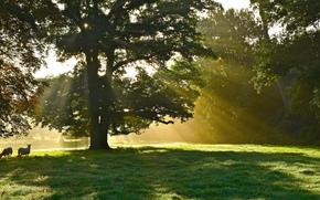 solar, trees, Rays, Sheep, animals, tree, park