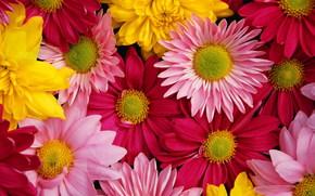 菊, 明るい, 色とりどりの