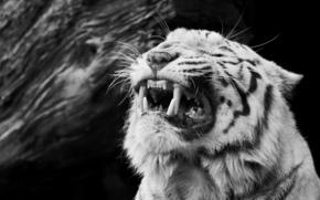 клыки, морда, чёрно-белое, ярость, злость, оскал, белый тигр