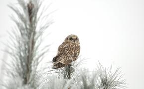 snow, owl, winter, tree, spruce, frost, Needles