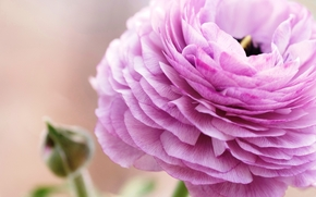 лепестки, цветок, розовый, макро, лютик