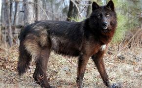 лес, природа, волк