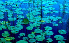 pond, fogliame, Giglio, Gigli, natura