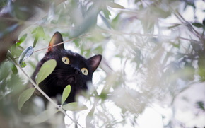 кошка, ветки, охота, кот, черный, дерево