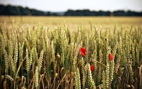 场, 花卉, 壁纸, 宽屏, 小麦, 红色, 全屏, 谷穗, 花, 小穗, 花卉, 黑麦, 宽屏, 背景
