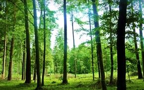 foresta. Alberi, estate, paesaggio, cielo, natura, Verde, Raggi