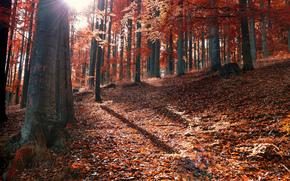 fogliame, foresta, Caduto, sole, autunno, Raggi
