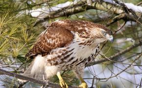 Red Hawk, predatore, uccello