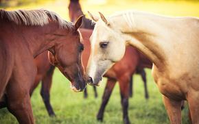 nature, horse, couple, animals, Horses, grass