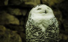 White, wallpaper, owl, nature, polar, eyes. plumage