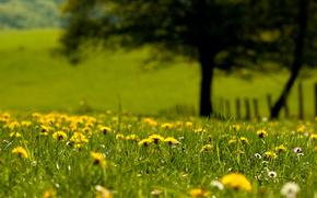 verdi, Blowball, natura, erba