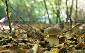 forest, autumn, nature, mushroom