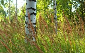 alberi, foresta, Birch, sfocatura, erba