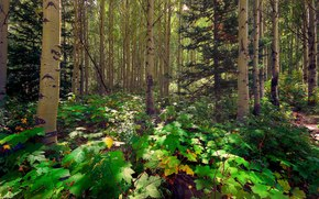 松, 白杨, 阳光, 森林, 光, 树, 太阳