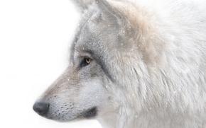 狼, 捕食, 吻