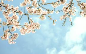 开花, 分行, 花卉, 树, 水果, 天空