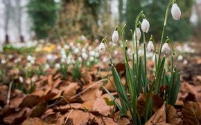 trocken, Blumen, Wald, Laub, SPRING, Schneeglöckchen