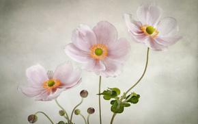 GENTLE, Fiori, rosa, Anemoni, sfondo
