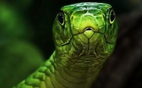 șarpe, cap, GREEN, ochi