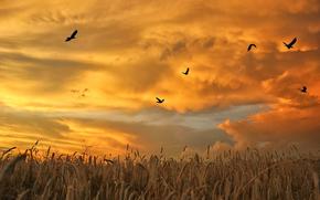 Espiguillas, DAWN, campo, pájaros, empacar, nubes, cielo, puesta del sol