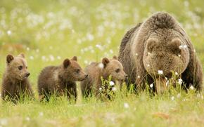 поляна, медвежата, медведи, бурые, природа., медведица, семья, отдых