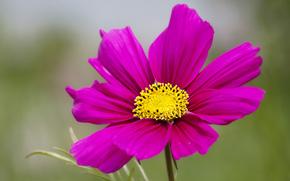 макро, лепестки, цветок, розовый, размытость, космея