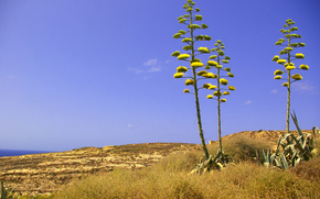 Blooming Agave americana plant in Dwejra, Gozo, Malta