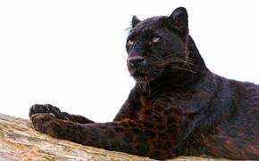 хищник, взгляд, пантера, кошка, морда, лапы, окрас