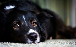 фон, собака, черная, взгляд