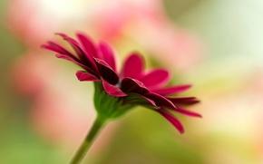 широкоэкранные, широкоформатные, полноэкранные, цветок, фон, обои, цветы, цветочек, размытие, розовый