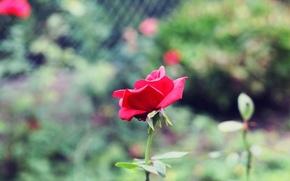 широкоэкранные, зелень, обои, размытие, розовая, цветы, цветочки, полноэкранные, широкоформатные, лепестки, роза, фон, стебель